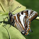 Tailed Emperor Butterfly by Gabrielle  Lees