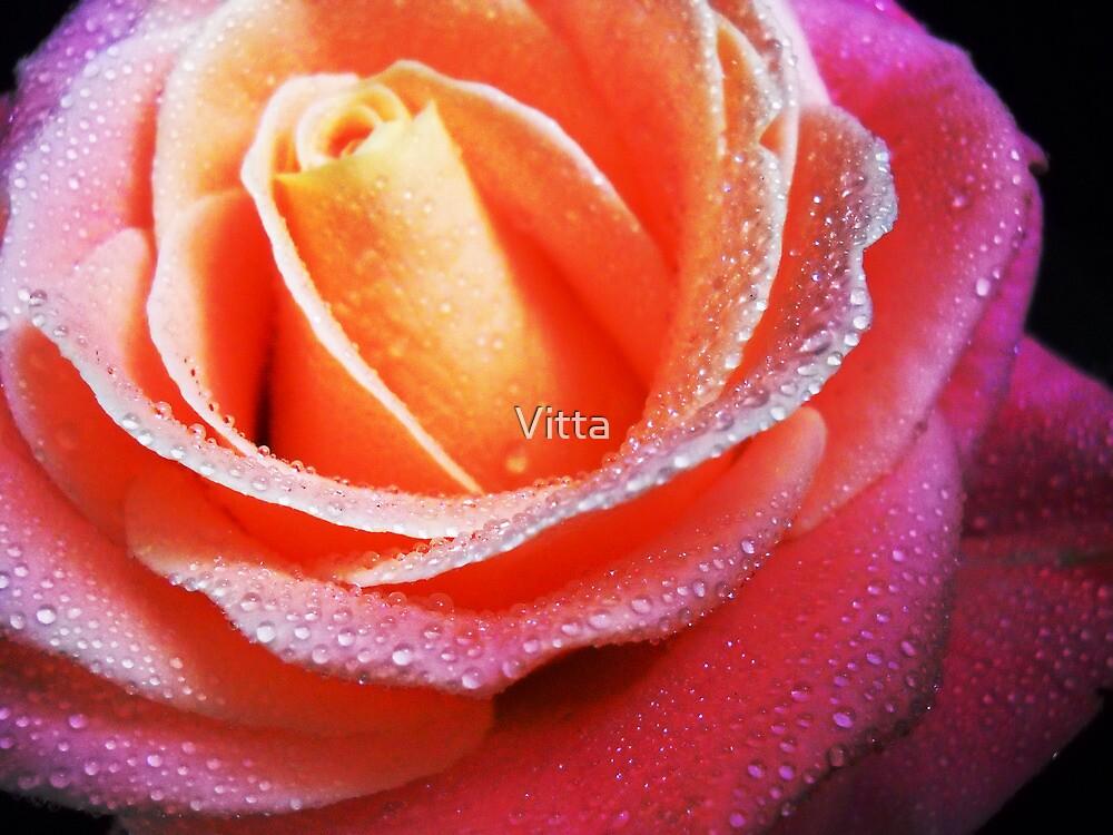 Lovely Rose. by Vitta