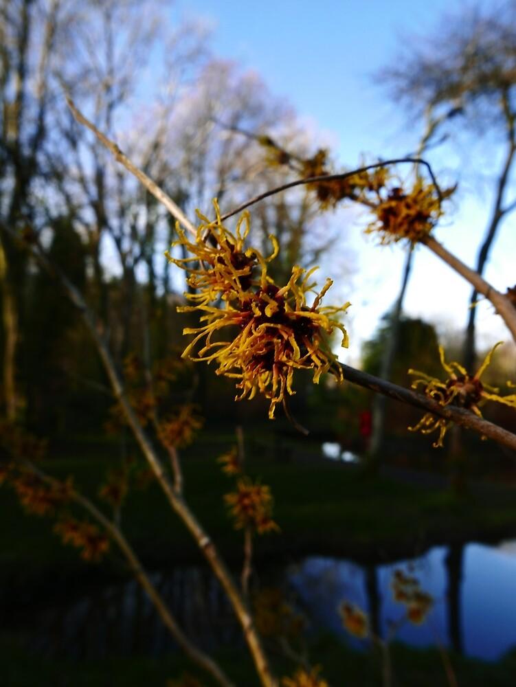 Ozark witchhazel (Hamamelis vernalis) by IOMWildFlowers