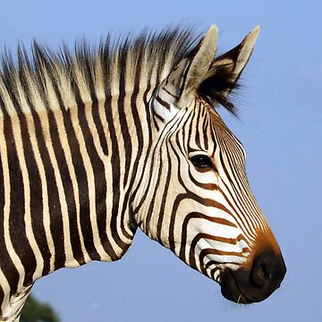 Zebra by fourretout