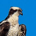 Fish Eagle Portrait by Bob Hardy
