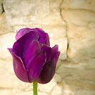 Purple Tulip by Gregory Colvin
