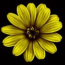 Daisy yellow by mikeosbornphoto
