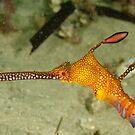 Weedy sea dragon head by Andrew Trevor-Jones