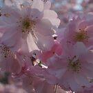 Pink Blossoms by Snowkitten