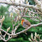 Robin in the Magnolia Tree.......Lyme Regis Dorset by lynn carter