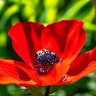 Head of a single red anemone flower close up on a blurred green background by Emma Grimberg