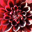 red dahlia - closer look by Babz Runcie