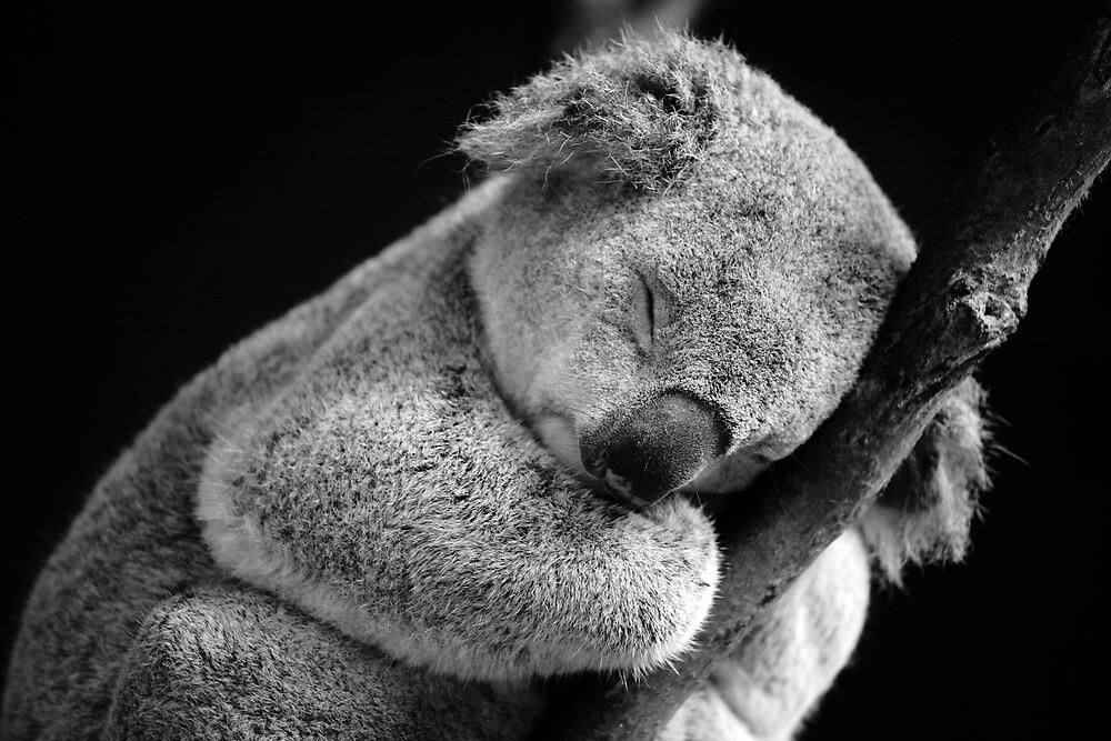 Quot Wake Me Later Sleeping Koala Quot By David Morgan Mar