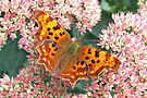 Comma butterfly by John Keates