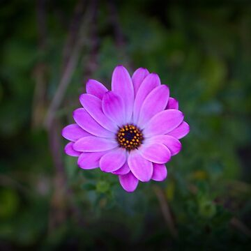 Solitary Beauty In The Garden by alabca