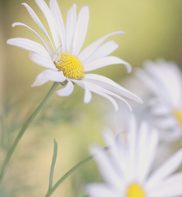 Softly Softly - white daisies by Jenny Dean