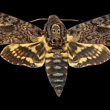 Death's-head hawkmoth by TOMSREDBUBBLE