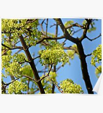 Close-up of a maple tree. Poster