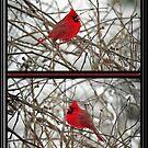 Kardinal Duo von WalnutHill