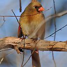 A Female Northern Cardinal  by jayant