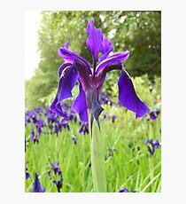 purply blue iris - Royal Botanic Gardens Edinburgh Photographic Print