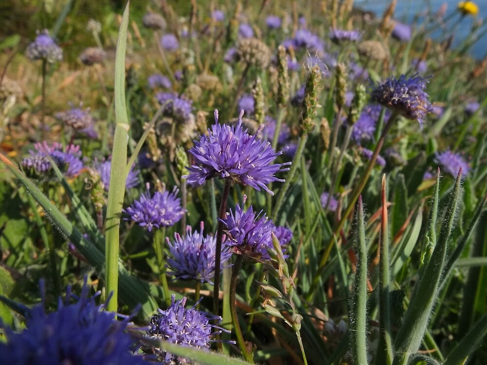 Cornish Cornflower by woodlandninja