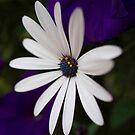 Daisy Whites by Marilyn Schmidlin