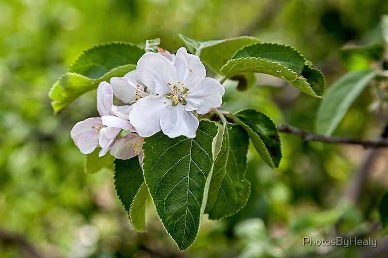 Apple blossoms by Photos by Healy