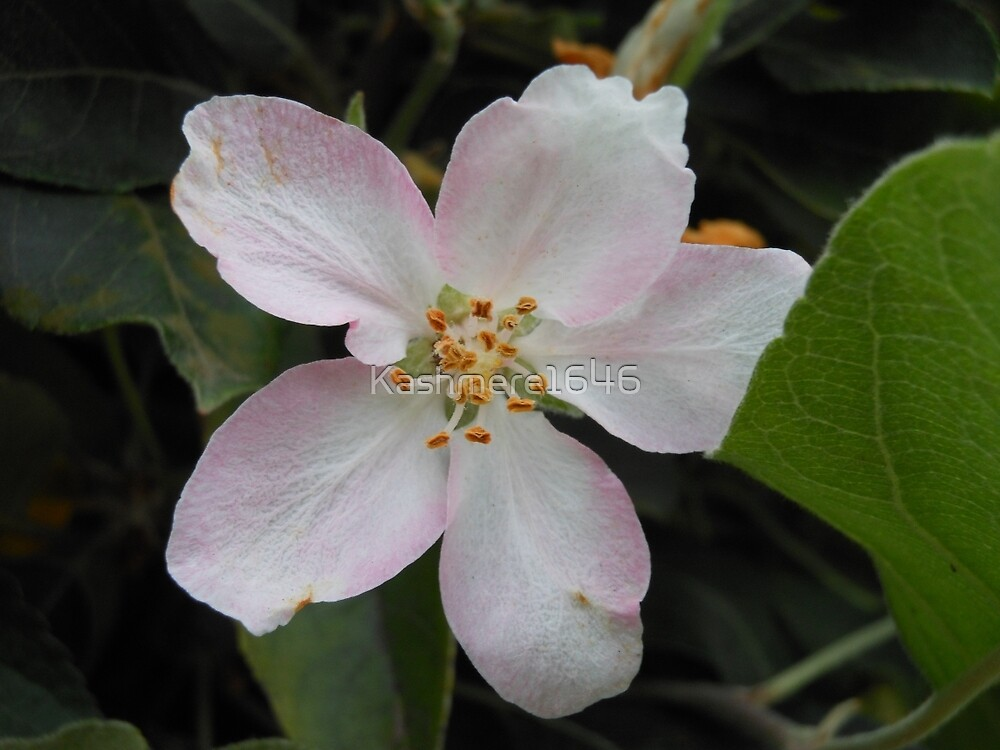 Apple Blossom by Kashmere1646
