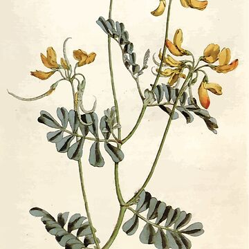 The Botanical magazine, or, Flower garden displayed by William Curtis V5 v6 1792 1793 0086 Coronilla Valentina, Rue Leaved Coronilla by wetdryvac