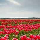 Tulips by Jaime Pharr