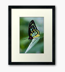 Cairns Birdwing Butterfly Framed Print