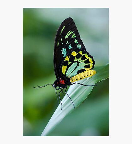 Cairns Birdwing Butterfly Photographic Print
