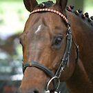 Thoroughbred Stallion by Birgit Schnapp