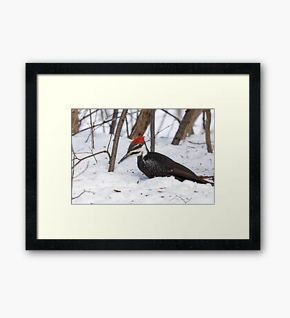 Snow Pecker Framed Print