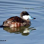 Male Ruddy Duck by Bunny Clarke