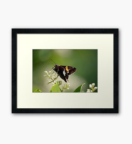 Spotted a Silver Spotted Skipper Framed Print