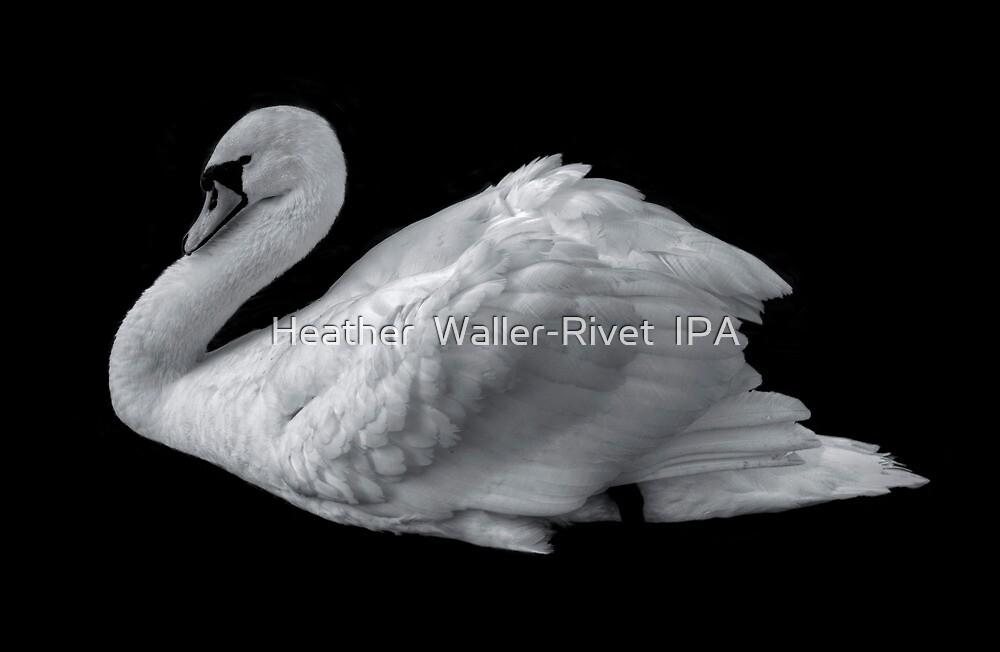 Swan by Heather  Waller-Rivet  IPA