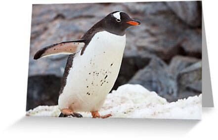 Gentoo Penguin by tara-leigh