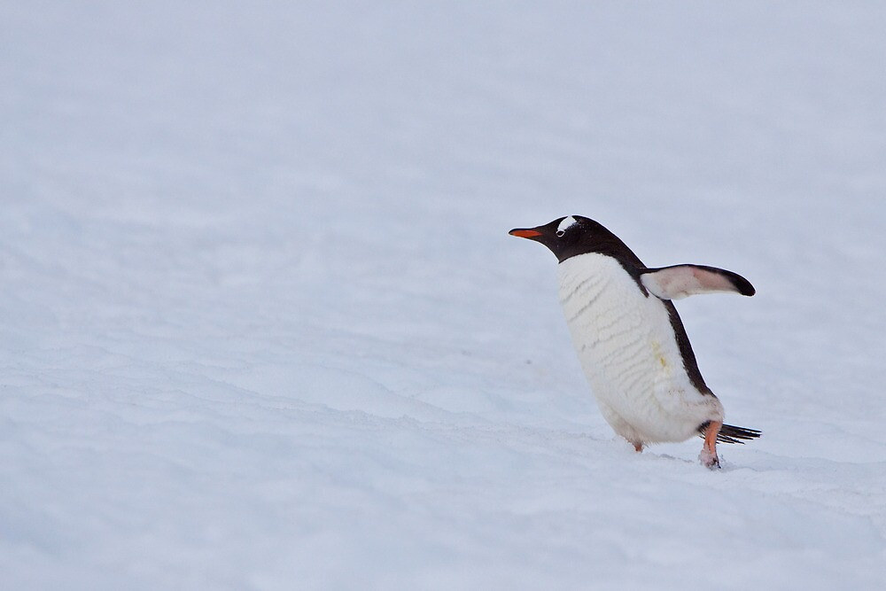 Gentoo in the Snow by tara-leigh