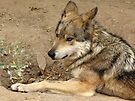 Mexican Gray Wolf by Kimberly Chadwick