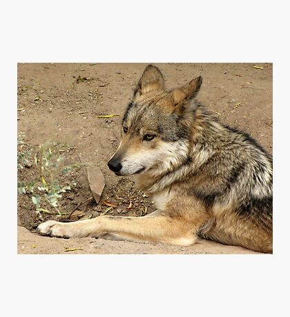 Mexican Gray Wolf Photographic Print