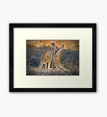 Kissing Kangaroos Framed Print