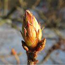 die erste Knospe des Frühlings im Garten am Baum, Natur von rhnaturestyles