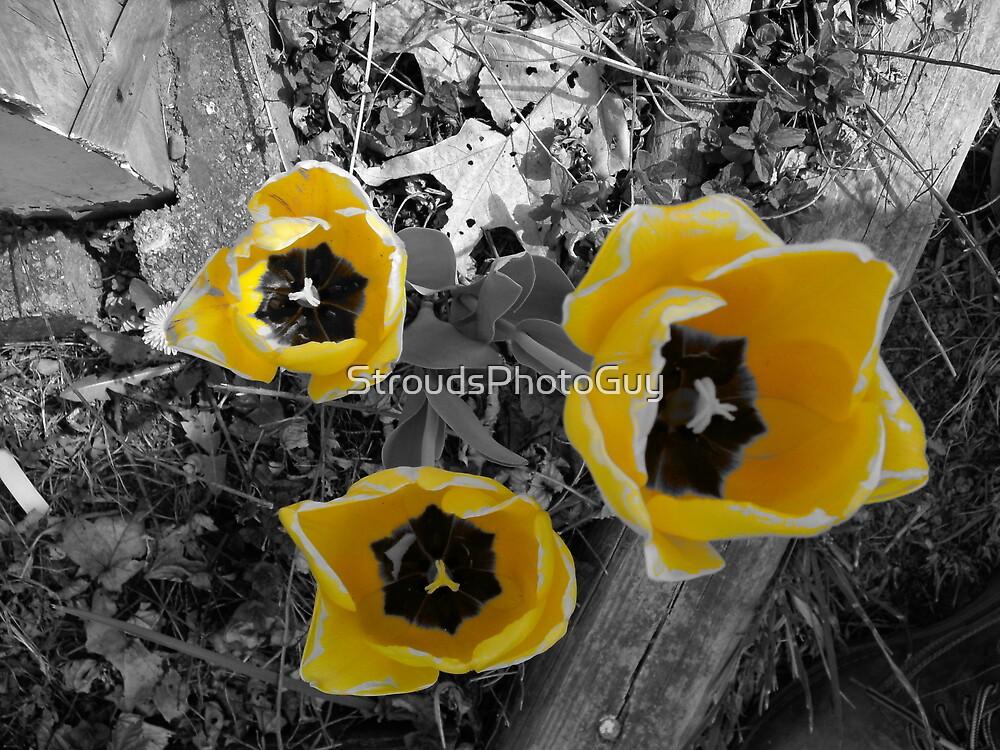 yellow tullip B&W by StroudsPhotoGuy