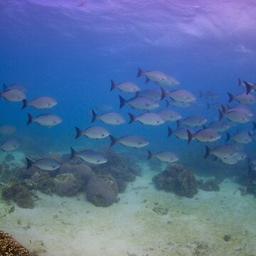 Highfin Rudderfish, Ningaloo Reef by eschlogl