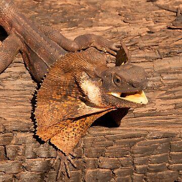 Frill-necked Lizard, Northern Territory, Australia by eschlogl