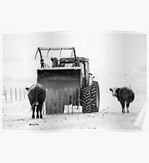 Feeding cows Poster