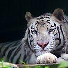 Weißer Tiger starren II an von Daniela Pintimalli