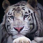 Weißer Tiger starrt an von Daniela Pintimalli