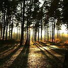 Sun Shining Through The Tree's by shakey123