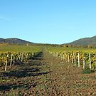 Vineyard and hills landscape autumn season agriculture by goceris