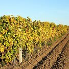 Vineyard with colorful leaves autumn season landscape by goceris