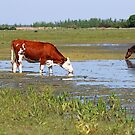 cow and horse drink water on the river by goceris